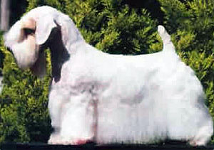 Sealyham Terrier - A modern, well groomed show dog.