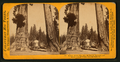 Section of the Big Tree, 30 feet in diameter, and House over the Stump, from the Sentinels, by Lawrence & Houseworth 3.png