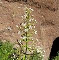 Sedum cepaea inflorescence (17).jpg