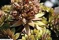 Sempervivum tectorum Red Beauty 1zz.jpg