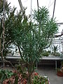 Senecio kleinia (Sukkulentensammlung).jpg
