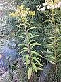 Senecio sarracenicus sl4.jpg