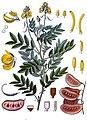 Senna alexandrina - Köhler–s Medizinal-Pflanzen-264.jpg