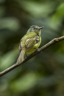 Sepia-capped Flycatcher - South Ecuador S4E1159 (16872352251).jpg