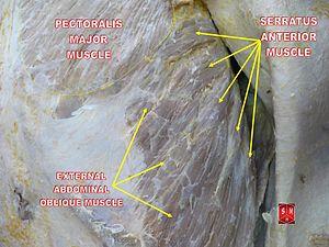 Serratus anterior muscle - Image: Serratus anterior muscle