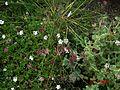 Seseli hippomarathrum - Flickr - peganum (2).jpg
