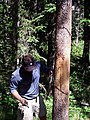 Setting up a wire hair snag on a rub tree (Northern Divide Grizzly Bear Project) (4428160184).jpg