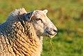 Sheep, Holy Island.jpg