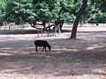 Sheep grazing in Kew Gardens - geograph.org.uk - 215022.jpg