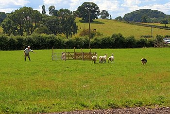 English: Sheepdog Trials, Osmotherley Show
