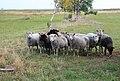 Sheeps on medow.JPG