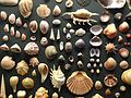Shells display GNM 2017 00.jpg