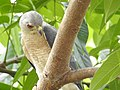 Shikra 3 (Accipiter badius) പ്രാപ്പിടിയൻ .jpg
