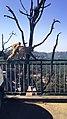 Shimla monkey1.jpg