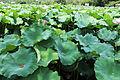 Shinobazu Pond - Sarah Stierch - August 2013 02.jpg