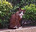 Siamese Cat in Bangkok.jpg