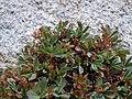 Sibbaldia procumbens (5065856413).jpg
