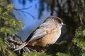 Siberian Jay (Perisoreus infaustus) (13667840323).jpg