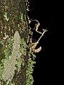 Sibylla cf. pretiosa (Sibyllidae), nymth (6939395533).jpg