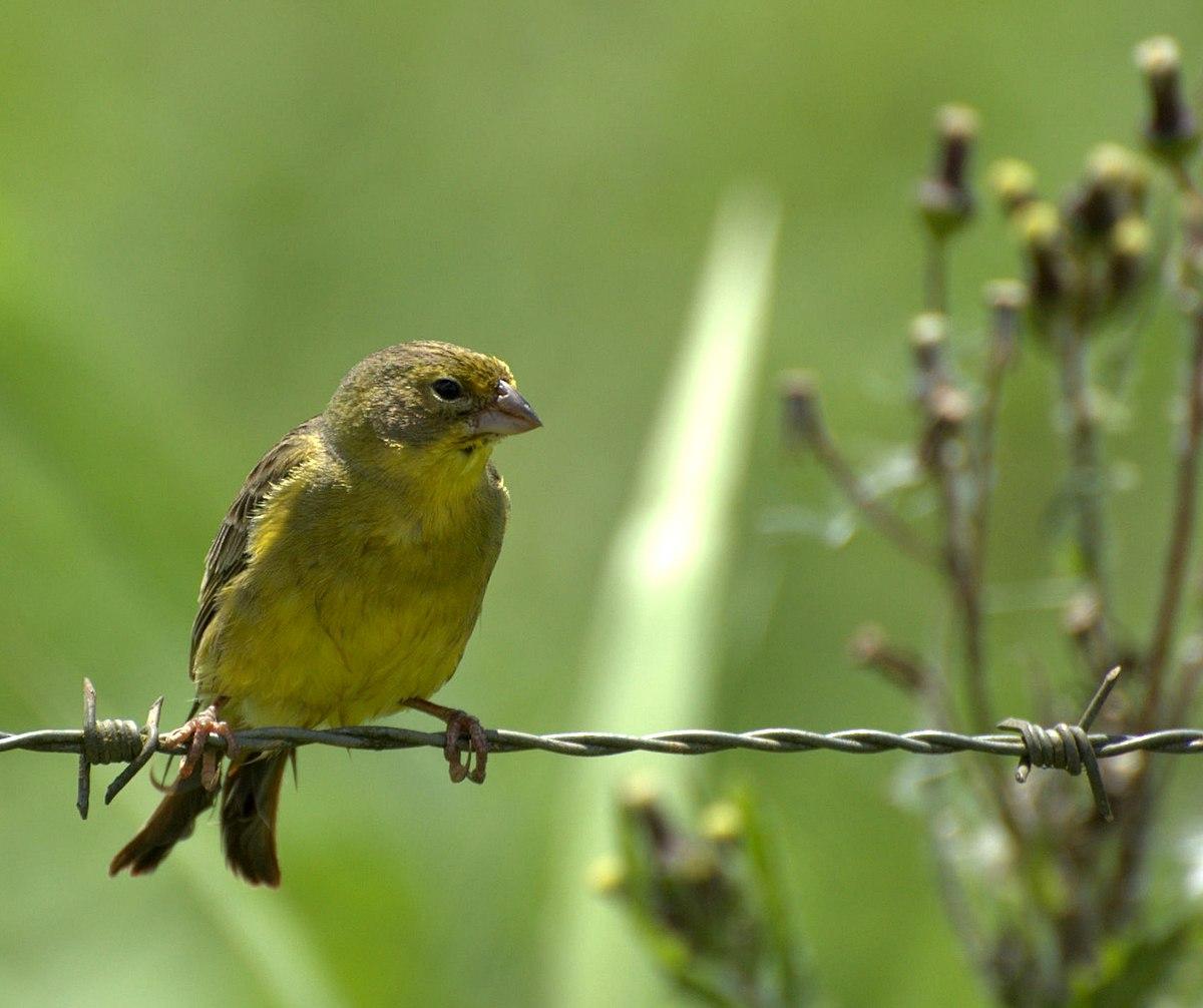 Grassland Yellow Finch Wikipedia