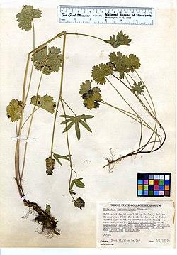 Sidalcea ranunculacea (5987755167).jpg