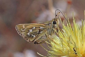 Silver-spotted skipper (Hesperia comma) underside Macedonia.jpg