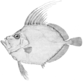 Silvery john dory.png