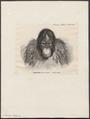 Simia satyrus - 1879 - Print - Iconographia Zoologica - Special Collections University of Amsterdam - UBA01 IZ19800015.tif