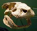 Simosuchus clarki skull.jpg