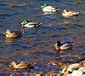 Six ducks a-swimming (2081637828).jpg