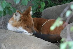 Sleeping Dhole.jpg