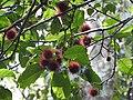 Sloanea steculiaceae ripe fruit1.jpg