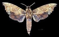 Smerinthulus olivacea MHNT CUT 2010 0 244 Malesia male dorsal.jpg