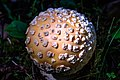 "Smithers area - Driftwood Canyon Park to the NE - ""anybody know their mushrooms""? - this is, I think, the deadly poionous Amanita pantherina - (21368740188).jpg"