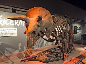Ornithoscelida - Image: Smithsonian Museum of Natural History Triceratops