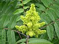 Smooth Sumac (Rhus glabra) at Yellowstone Lake State Park in southern Wisconsin 2 - Flickr - Jay Sturner.jpg