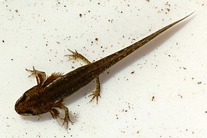 Smooth newt - Image: Smooth newt (Lissotriton vulgaris) nymph