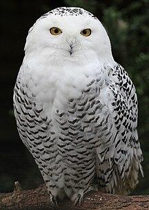 Isla de Wrangel-Geografía-Snowy Owl - Schnee-Eule
