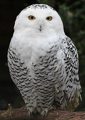 Snowy Owl - Schnee-Eule.jpg