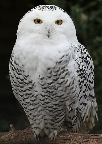Laptev Sea - Snowy owl