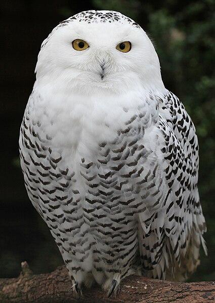 File:Snowy Owl - Schnee-Eule.jpg