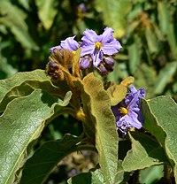 Solanum hispidum 2.jpg