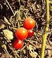Solanum lycopersicum cerasiforme 02a.JPG