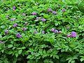 Solanum tuberosum, Darjeeling AJTJ P1110640.jpg