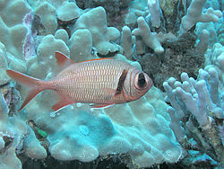 Soldierfish (Myripristis sp), Kona, Hawaii.jpg