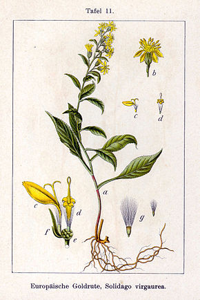 Description de l'image  Image:Solidago virgaurea Sturm11.jpg .