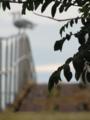 Sorbus aucuparia reclamation.tiff