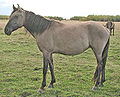 Sorraia phenotype in the Kiger Mustang mare Ciente.jpg