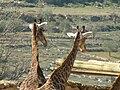 South African Giraffes 03.jpg
