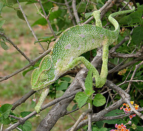 Description de l'image South Asian Chamaeleon (Chamaeleo zeylanicus) W IMG 1859.jpg.